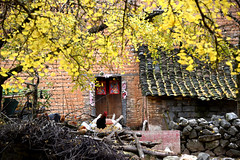 Chicken (MelindaChan ^..^) Tags: life china autumn fall yellow rural countryside duck ginkgo village guilin mel poultry melinda guangxi   chanmelmle melindachan