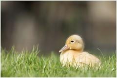 Eendenkuiken (HP000291) (Hetwie) Tags: nature duck spring nederland natuur mallard lente eend noordbrabant helmond wildeeend eendenkuiken witteeend