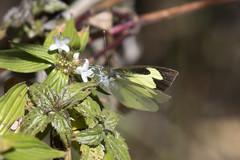 Eleone White (Leptophobia eleone denigrata) (Pieridae, Pierinae) (S Whitebread) Tags: butterfly colombia santamarta pieridae pierinae proaves leptophobiaeleone eleonewhite leptophobiaeleonedenigrata
