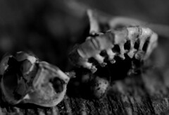 bone 4 (horsesqueezing) Tags: macro mono bone foundinafurball