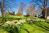 Cabot Tower Daffodils (Michael Buckle (MichaelBuckle.co.uk)) Tags: uk bristol nikon daffodils cabottower brandonhill