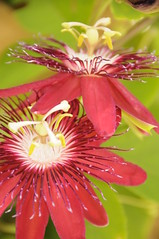 passion flower (aprille s) Tags: florida passiflora passionflower pompanobeach butterflyworld 2016 aprilles