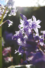 (nic lawrance) Tags: flowers blue light england sun plant colour nature bluebells garden petals spring flora shine purple gloucestershire shape