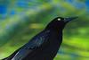 Black Bird (Brian 104) Tags: black bird eye feathers tropical beady ilobsterit
