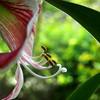 porzó és bibe / stamens and pistil (debreczeniemoke) Tags: flower spring stamens pistil amaryllis tavasz virág hippeastrum amarillis amaryllidaceae bibe porzó amarillisz amarilliszfélék hölgyliliom lovagcsillag olympusem5