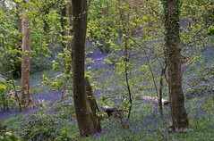 Bluebell Woods (Zoe K Williams) Tags: wood uk flowers blue trees plant flower green nature bluebells wales forest woodland landscape countryside spring outdoor hyacinthoides