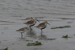 Dunlin (Calidris alpina) and Western Sandpiper (Calidris mauri) - Monterey County, California, USA - April 14, 2006 (mango verde) Tags: california usa bird calidris alpina montereycounty dunlin calidrisalpina shorebird westernsandpiper wader calidrismauri scolopacidae sandpipersandallies mosslandingstatewildlifearea