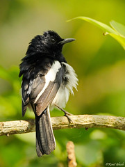 Oriental Magpie Robin. (ronitghosh4) Tags: light summer nature birds animals canon photography eos wildlife aviary naturephotography canon1200d