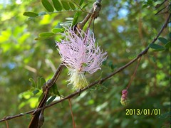 "Leg.-mimos., Dichrostachys tenuifolia cfJNB  Parc de Kirindy • <a style=""font-size:0.8em;"" href=""http://www.flickr.com/photos/134534957@N02/23372792143/"" target=""_blank"">View on Flickr</a>"
