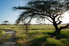 Dry Acasia Tree of Samburu (yukirichards) Tags: africa light shadow sun sunlight nature beautiful grass landscape nationalpark nikon view kenya wildlife safari naturereserve grassland samburu acacia gamedrive eastafrica d610 wildlifephotography goldengrass northkenya