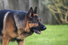 Dog Garden9 (FurtiveOutsider) Tags: dog pet dogs beautiful garden fun shepherd german alsatian alsation gsd