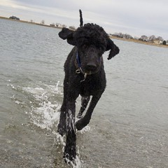 At the beach! (Grace.Win) Tags: dog beach water happy joy splash goldendoodle