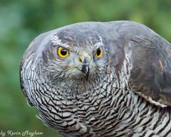 Goshawk-2171 (kevinmayhew62) Tags: birdwatching birdsofprey goshawk