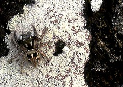 black and white, mostly (Just Back) Tags: camera white black love sc nature animal stone hair berkeley living spider adult legs arachnid air hunting tan camouflage lichen alive carnivorous joints arthropod abdomen palps chitin cephalothorax