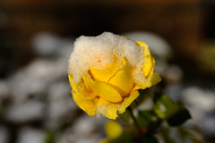 another survivor - snow (lumofisk) Tags: schnee winter snow rose yellow 50mm outdoor gelb 0mmf0 nikondf