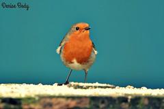 Robin (Pole Den) Tags: red bird nature robin garden breast legs wildlife beak feathers ornithology