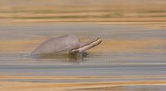 Indus river dolphin (Zahoor-Salmi) Tags: camera pakistan macro nature birds animals canon lens photo tv google flickr natural action wildlife watch bbc punjab wwf salmi walpapers chanals discovry beutty bhalwal zahoorsalmi