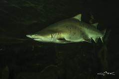 Sandtiger Shark (Mike Clark 100) Tags: world blue sea fish aquarium scotland shark underwater deep mikeclark sandtiger