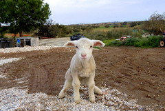 The small lamb (AndreiaFMS) Tags: baby portugal animal animals fauna landscape sheep little photos small campo alentejo animais sheeps animalia pequena pequeno cria cordeiro ovelha photographies ovino ovinos ovelhinha andreiasarnadinha