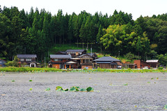 (Yorozuna / ) Tags: house plant building leaves japan wooden leaf pond lotus  niigata   woodenbuilding         aquaticplant kashiwazaki waterweed privatehouse  nelumbonucifera