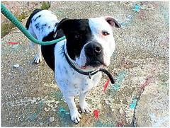Tyson (iravande) Tags: pets dogs spain perros mixture javea dogpound rescuedogs perrera espanja staffordshirenbullterrier
