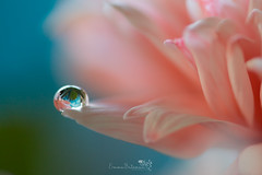 Pretty Little Drops (Emma Bateman Photography) Tags: flowers flower colour macro reflection nature water beautiful closeup reflections photography flora waterdrop drop photograph refraction droplet waterdrops