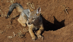 Pointy-eared Shadow Play (AnyMotion) Tags: africa travel shadow portrait nature animal animals tanzania cub tiere reisen wildlife ngc natur den young portrt npc afrika schatten hhle welpe canismesomelas tansania 2015 blackbackedjackal serengetinationalpark anymotion schabrackenschakal 7d2 canoneos7d2