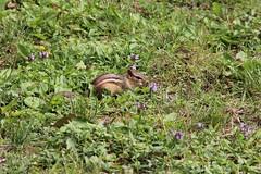 Eastern chipmunk (The NYSIPM Image Gallery) Tags: newyork garden rodent farm chipmunk ipm pest rodentia tamiasstriatus integratedpestmanagement nysipm ipmprogram