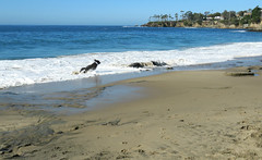 """""""Benni and Laguna and zoomies on the beach"""", (Bennilover) Tags: ocean california sea dog beach dogs happy sand surf waves joy running calm racing labradoodle benni favoritethings zoomies"""