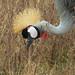 Grey Crowned-crane- Head detail- Ngorongoro Crater