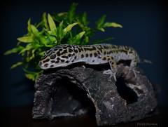 Gizmo 3 (purplepheonixx) Tags: pets cute reptile gecko gizmo leopardgecko reptilepets