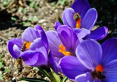 Spring memories ... (Kat-i) Tags: flowers sun spring bees insects blumen crocus kati sonne insekten krokus frhling katharina bienen nikon1v1