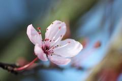 First blossom (NikkiNakkiNoo365) Tags: pink blue winter sky macro sunshine canon lens cherry spring dof seasons bokeh sunny shallow tamron 90mm 1100d