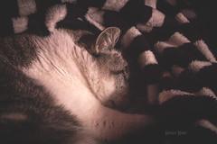 Dreams La (Serket Heru) Tags: cat canon sleep interior indoor gato dreams siesta sueo duerme 700d