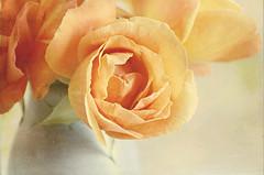 apricot rose 1 (dannyjackie) Tags: life flower rose still apricot textured sundayroses