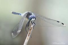 Dark Whiteface (Horst Beutler) Tags: pentax dragonfly wildlife libelle manualfocus libellulidae leucorrhinia k10d segellibelle moosjungfer leucorrhiniaalbifrons darkwhiteface stlichemoosjungfer smcpentaxa200mmf4macroed copyrighthorstbeutlerphotography smcpentaxfafadapter17x easternwhitefaceddarterwhiteface f111125seciso400