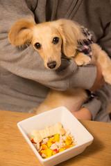 IMG_0153 (yukichinoko) Tags: dog dachshund 犬 kinako ダックスフント ダックスフンド きなこ