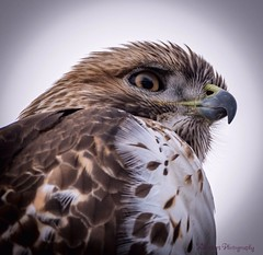 I am watching you! Blodgett Peak Open Space, Colorado Springs Colorado (KWinters Photography) Tags: bird nature birds animal nikon colorado outdoor hawk feathers sigma raptor rockymountains birdofprey flickrtoday d5500 birdsphotos nikonprofessional coloradoimages raptorsofnorthamerica sigma150mm600mm eliteimagery
