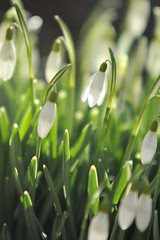 Snowdrops (Chris J Handley) Tags: flowers plant flower field grass backlight depthoffield snowdrops depth backlighting