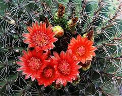 Barrel Cactus – Tucson, AZ (studioferullo) Tags: red arizona cactus flower tucson