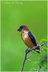 A Mouthful! (MAC's Wild Pixels) Tags: kenya nairobi ngc swallow redrumpedswallow beautifulbird nairobinationalpark colourfulbird amouthful birdsofeastafrica macswildpixels
