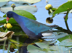 THIS IS THE RIGHT ONE (concep1941) Tags: nature birds outdoor porphyrulamartinica freshwatermarshes railfamily