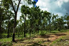 Australian Bush (betadecay2000) Tags: plant flower tree green fleur bush outdoor top pflanze pflanzen australian australia beta palm palmtree end australien grn humilis bume palme baum busch australie bloem austral savanne livistona regenzeit