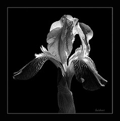 illustrated iris (milomingo) Tags: iris light blackandwhite bw flower texture nature monochrome closeup blackbackground bulb contrast garden square botanical grey sketch blackwhite spring flora illustrated border grain stripe petal frame bloom mygarden horticulture photoart highlight tone striped ruffle onblack blackandwhiteonly cmwd cmwdblackandwhite a~i~a