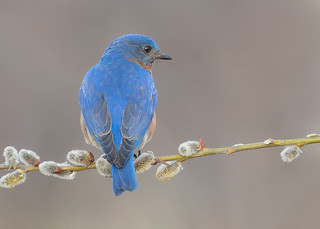 Bluebird M