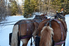 "Two horsepower sleigh - Elk Viewing Sleigh Ride - Thunder Bay Resort, Hillman MI (Corvair Owner) Tags: bridge trees winter horse snow cold sport mi forest golf bay cabin woods day carriage ride outdoor michigan 14 scenic resort course gourmet trail mich dining supper elk february drawn sleigh viewing thunder hillman alpena 2016 ""snow valentine's covered"""