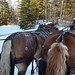 Two horsepower sleigh - Elk Viewing Sleigh Ride - Thunder Bay Resort, Hillman MI