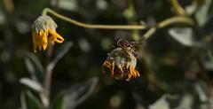 I'll Call You Back (harefoot1066) Tags: fly asteraceae syrphidae diptera enceliacalifornica encelia helophilus syrphidfly aschiza eristalinae eristalini californiabrittlebush helophilena