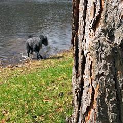 (Jean Arf) Tags: dog wet water spring pond drink rochester astrid poodle highlandpark lilypond standardpoodle 2016