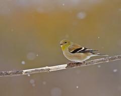 Only Time Will Tell... (Slow Turning) Tags: winter snow bird branch stick perched southernontario americangoldfinch passerine spinustristis